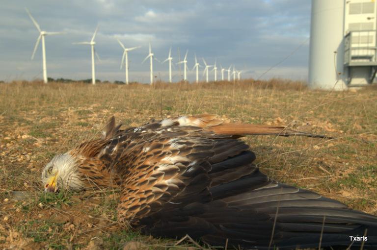 red-kite-with-broken-wing-awaiting-slow-death-under-wind-turbine-e28093-courtesy-gurelur